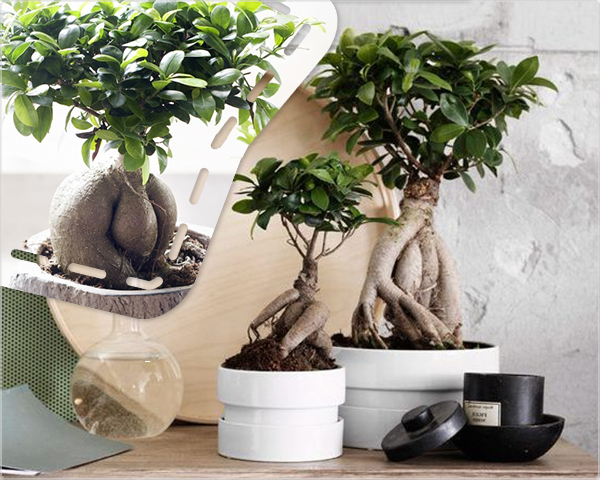 1 Day Fly Lady - Twee Japanse Ficus Ginseng Bonsai Bomen