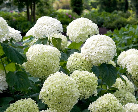 Groupdeal - Set van 2 XL Hortensia's